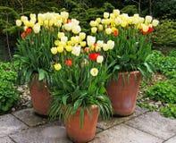 Gelbe Tulip Tubs Lizenzfreie Stockbilder