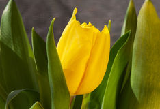 gelbe Tulpe lizenzfreie stockfotos