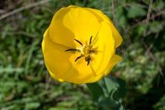 Gelbe Tulpe Stockbilder