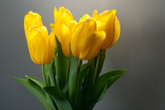 Gelbe Tulpe Stockfotografie