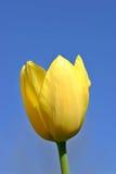 Gelbe Tulpe-blauer Himmel stockfoto
