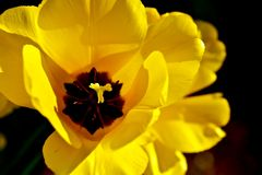 Gelbe Tulpe-Blume Stockfoto