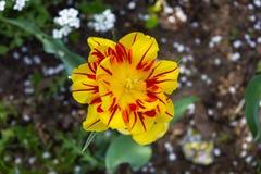 Gelbe Tulpe der Blume auf einem Hintergrund von grünen Blättern lizenzfreie stockfotografie