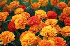 gelbe Tulpe der Doppel-Schönheit Lizenzfreie Stockfotografie