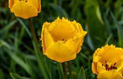 Gelbe Tulpe, der Garten des Elternteils lizenzfreie stockbilder