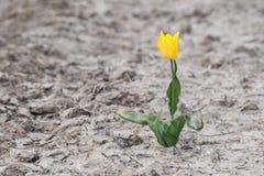 Gelbe Tulpe, die auf einem leeren Gebiet wächst Lizenzfreies Stockfoto