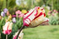 Gelbe Tulpe, gelb-rote Tulpe stockfotografie