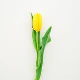 Gelbe Tulpe getrennt auf weißem Hintergrund Flache Lage Beschneidungspfad eingeschlossen Lizenzfreie Stockfotos