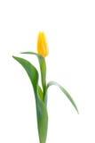 Gelbe Tulpe getrennt worden auf Weiß Lizenzfreie Stockbilder