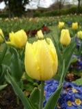 Gelbe Tulpe an Guildford-Garten Lizenzfreie Stockfotografie