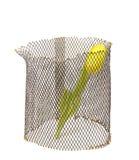 Gelbe Tulpe im Gitter auf weißem Hintergrund. stockfotos