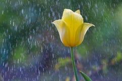 Gelbe Tulpe im Regen des Gartens im Frühjahr stockfotos