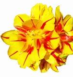 Gelbe Tulpe lokalisiert auf dem weißen Hintergrund Stockfotos