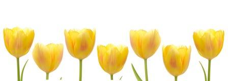 Gelbe Tulpe-Reihe Lizenzfreies Stockbild