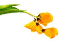 Gelbe Tulpe trennte Lizenzfreies Stockbild