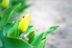 Gelbe Tulpe und Marienkäfer Stockfotografie