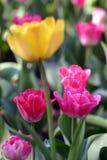Gelbe Tulpe unscharf unter rosafarbenen Tulpen Stockfotografie