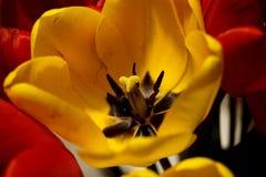 Gelbe Tulpe unter Rot stockfoto