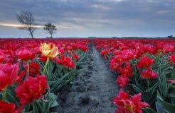 Gelbe Tulpe unter rotem Feld stockbilder