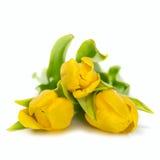 Gelbe Tulpeblumen Stockbilder