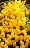 Gelbe Tulpen Stockfoto