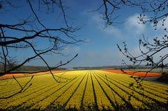 Gelbe Tulpen Lizenzfreie Stockfotos