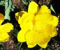 Gelbe Tulpen auf dem Blumenbeet im Park Lizenzfreie Stockfotos