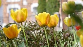 Gelbe Tulpen auf undeutlichem Hintergrund stock video