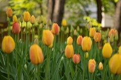 Gelbe Tulpen bl?hen an einem sonnigen Tag im Park auf einem Hintergrund von gr?nen Bl?ttern stockfotografie
