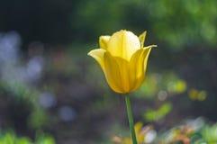Gelbe Tulpen in den Wassertropfen im Garten stockbilder