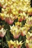 Gelbe Tulpen in der Blüte lizenzfreie stockfotografie
