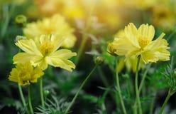 Gelbe Tulpen in der Show lizenzfreie stockfotografie