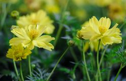 Gelbe Tulpen in der Show stockfotos