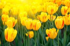 Gelbe Tulpen des Frühlinges Stockbild