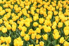 Gelbe Tulpen in einem Garten lizenzfreies stockbild