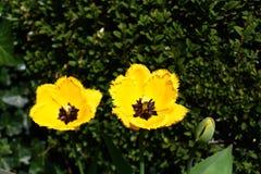 Gelbe Tulpen im Garten stockfoto