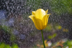 Gelbe Tulpen im Regen des Gartens im Frühjahr lizenzfreies stockfoto