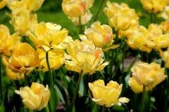 Gelbe Tulpen im Sonnenschein Lizenzfreies Stockfoto