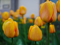 Gelbe Tulpen mit bokeh lizenzfreie stockfotografie