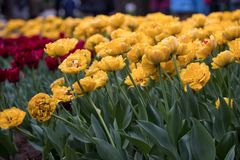 Gelbe Tulpen mit den doppelten Blumenblättern stockfotografie