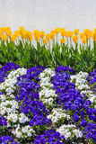 Gelbe Tulpen mit Kaskadenreihen von purpurroten und weißen Pansies Lizenzfreie Stockfotos