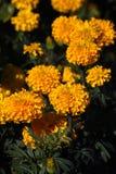Gelbe Tulpen- und Hyazinthenblumen Stockfoto