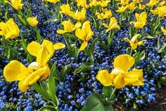 Gelbe Tulpen und Vergissmeinnichtblumen Stockfotografie