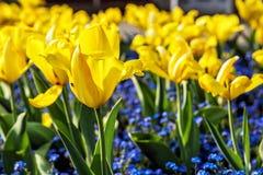 Gelbe Tulpen und Vergissmeinnichtblumen Stockfoto