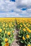 Gelbe Tulpenbirnen in der niederländischen Landschaft Lizenzfreie Stockfotografie