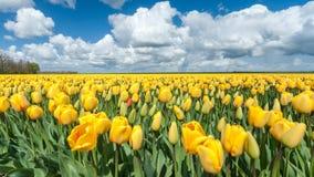 Gelbe Tulpenbirnen in der niederländischen Landschaft Stockfotos