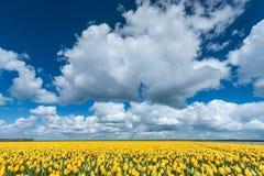 Gelbe Tulpenbirnen in der niederländischen Landschaft Stockbild