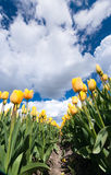 Gelbe Tulpenfelder in Holland Lizenzfreie Stockfotografie
