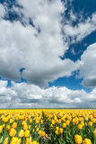Gelbe Tulpenfelder in Holland Stockbild