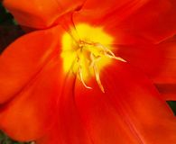 Gelbe Tulpenstaubgefässe des Detailsonnenscheins in der roten Blume stockbild